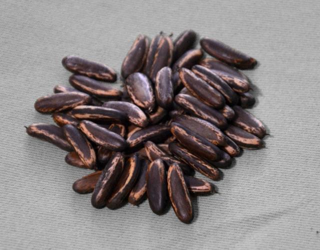 Flamboyant (Delonix regia) seeds