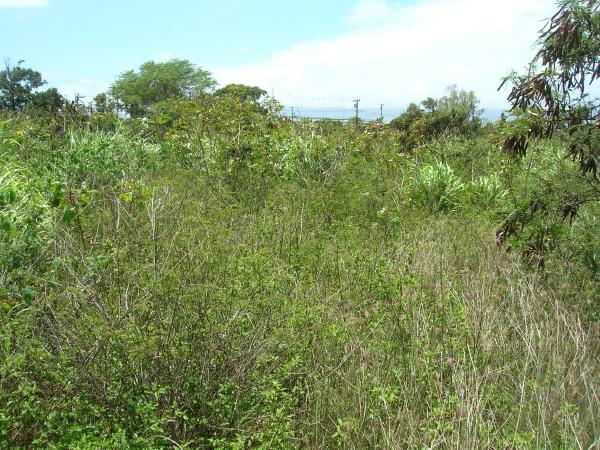 Dwarf koa (Desmanthus virgatus (L.) Willd.), habit at Maui, Hawaii
