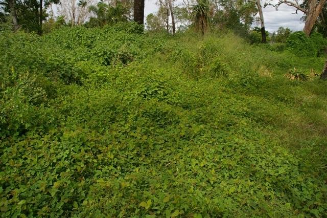 Samoan clover (Desmodium scorpiurus), stand