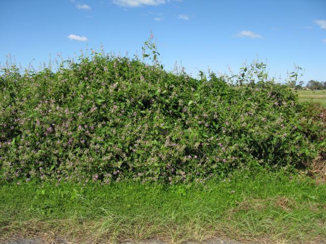 Silverleaf desmodium (Desmodium uncinatum), trailing and climbing habit