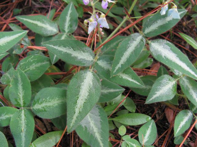 Silverleaf desmodium (Desmodium uncinatum), leaves and flowers