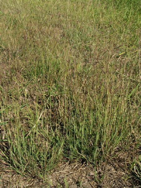 Marvel grass (Dichanthium annulatum), stand