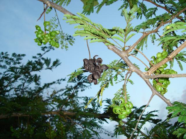 Sicklebush (Dichrostachys cinerea)