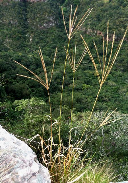 Pangola grass (Digitaria eriantha), South Africa