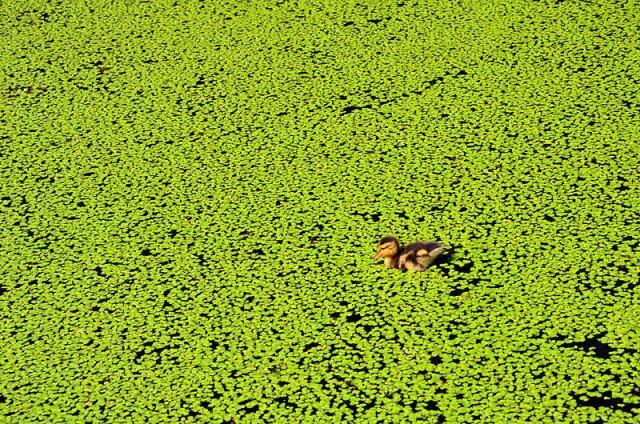 Duckweeds: Lemna minor