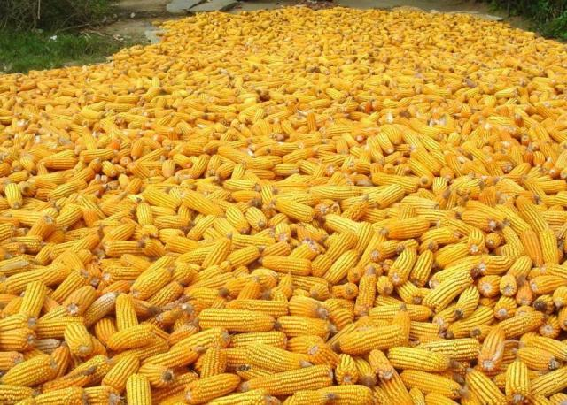 Ear maize (Zea mays) without hulls