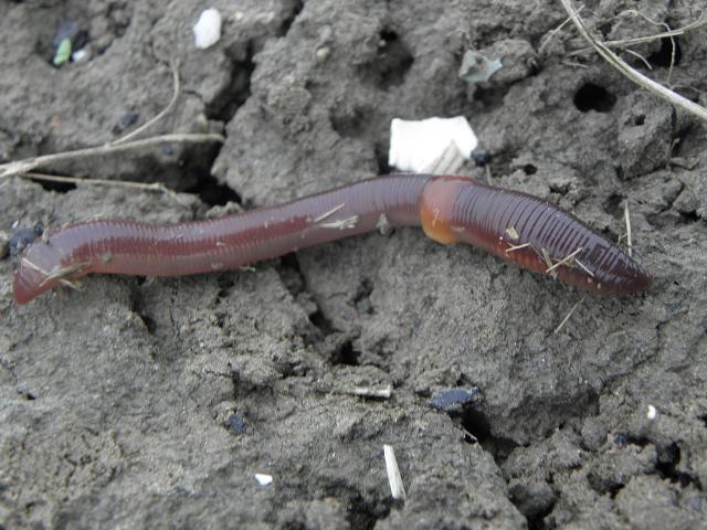 Common earthworm on the ground