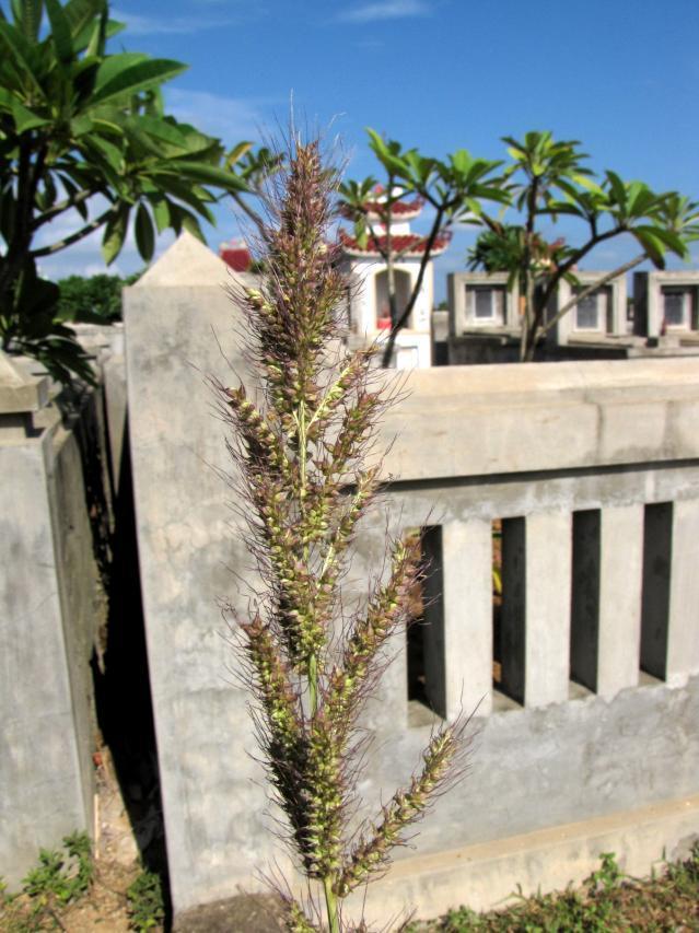 Echinochloa crusgalli spike, Central Vietnam