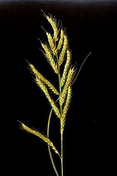 Burgu (Echinochloa stagnina) seeds