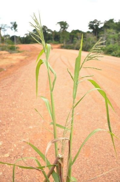 Burgu (Echinochloa stagnina) leaves and inflorescence, Gabon