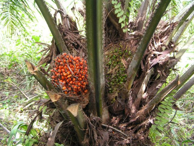Palm (Elaeis guineensis) bunches on tree