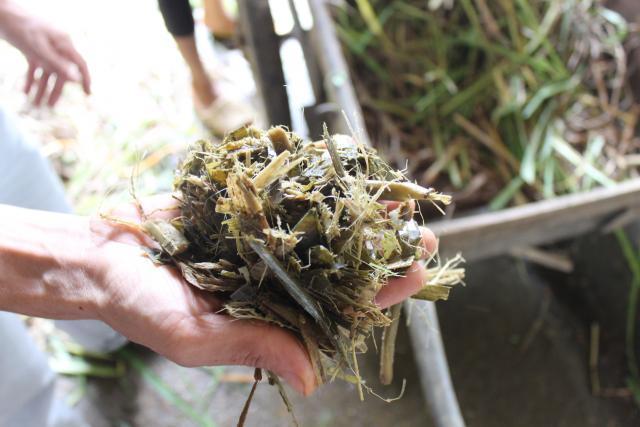 Elephant grass (Pennisetum purpureum) silage