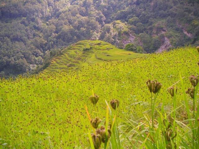 Fields of finger millet (Eleusine coracana)