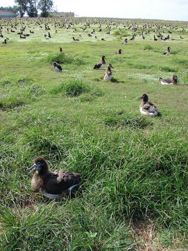 Goose grass (Eleusine indica) stand and albatross