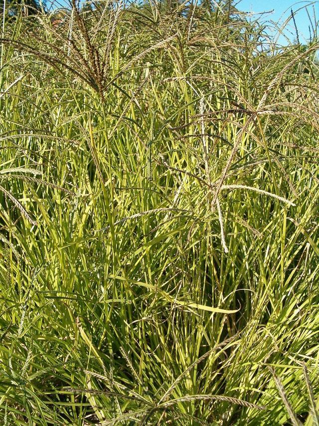 Goose grass (Eleusine indica) habit