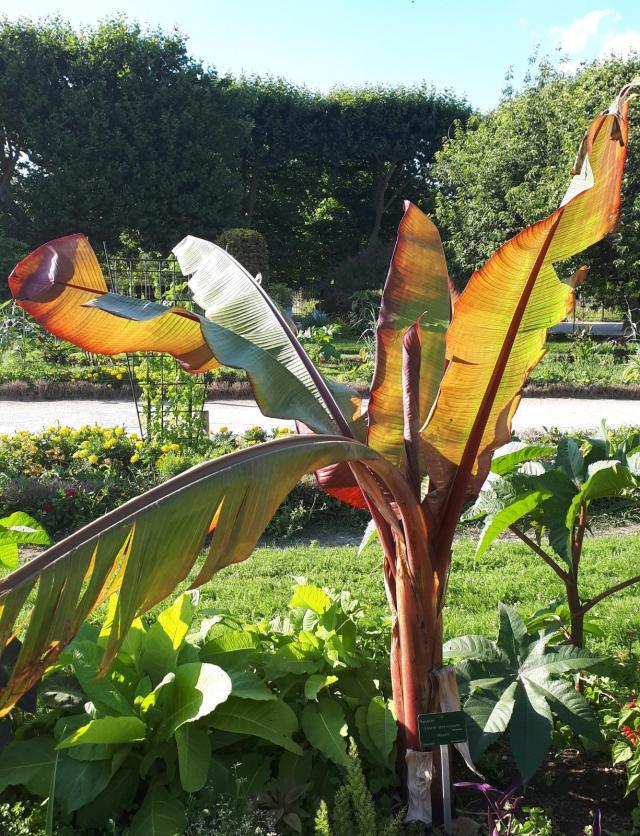 Enset (Ensete ventricosum), habit, Jardin des plantes, Paris