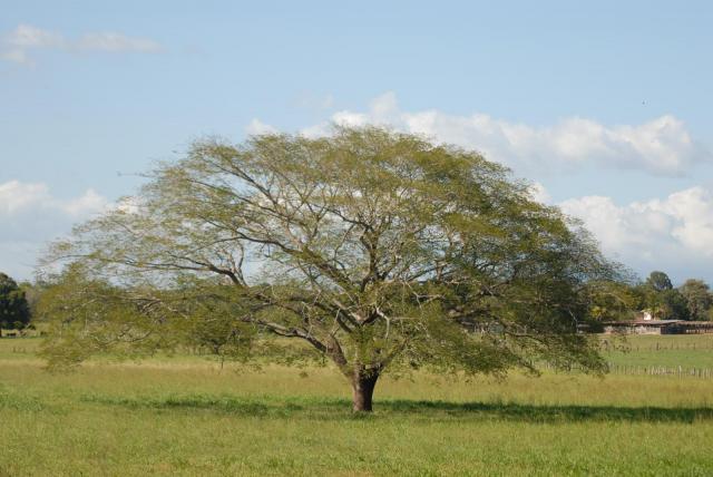 Guanacaste (Enterolobium cyclocarpum), habit