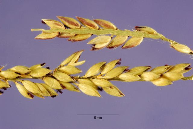 Carib grass (Eriochloa ploystachya) seed head, USA