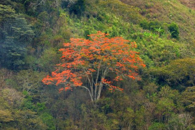 Poro (Erythrina poeppigiana) habit
