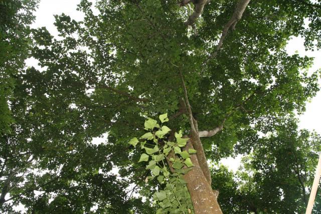 Poro (Erythrina poeppigiana) bole, leaves and crown