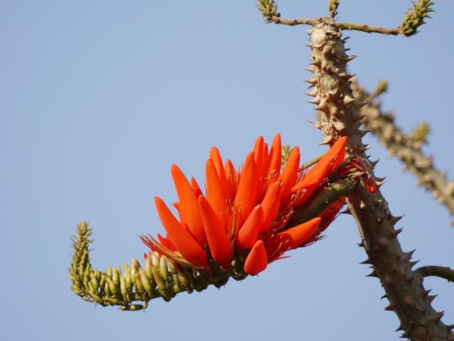 Coral tree (Erythrina variegata) prickly stems and flower, India