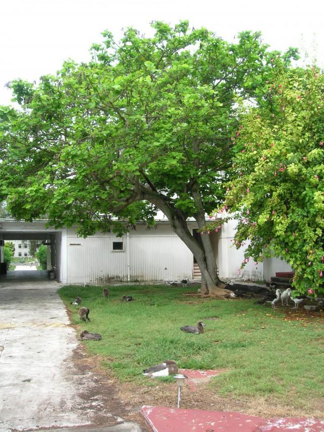 Coral tree (Erythrina variegata) habit, Midway Atoll, USA