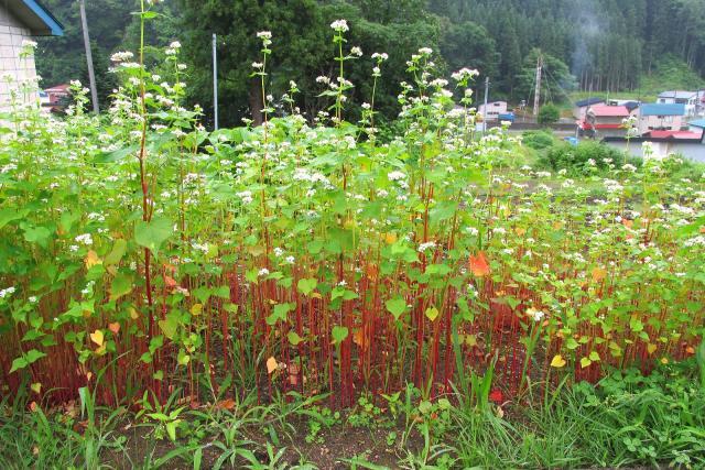 Buckwheat (Fagopyrum esculentum) plant habit