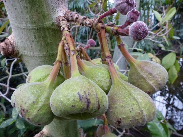 Roxburgh fig (Ficus auriculata), fruits