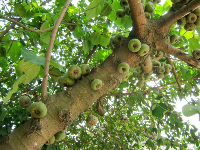 Roxburgh fig (Ficus auriculata), fruits and trunk