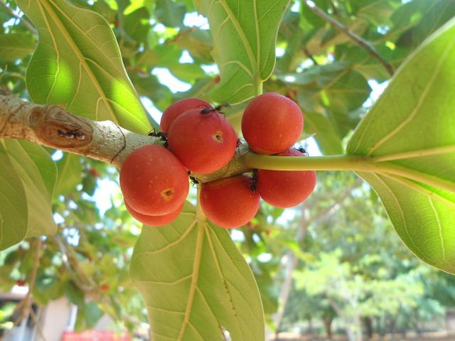 Banyan tree (Ficus benghalensis) fruits and leaves