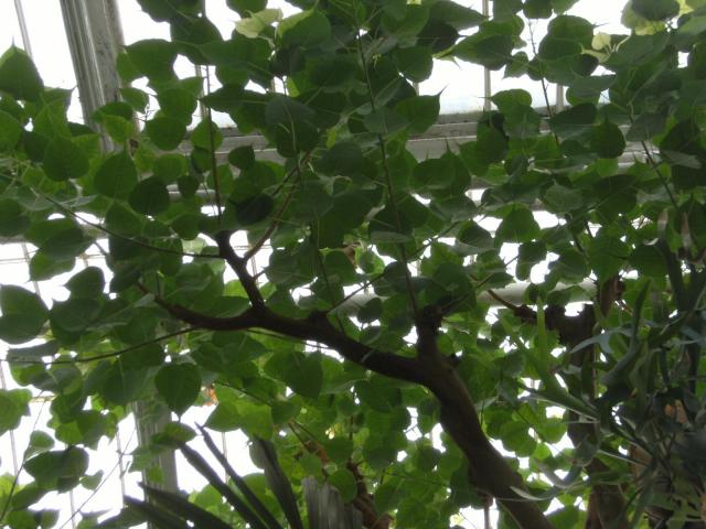 Sacred fig (Ficus religiosa), leaves, Kew Gardens, London