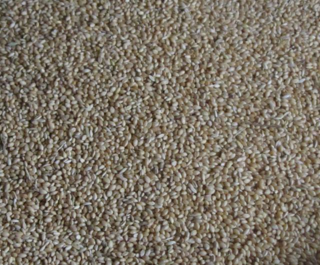 Foxtail millet (Setaria italica), grains