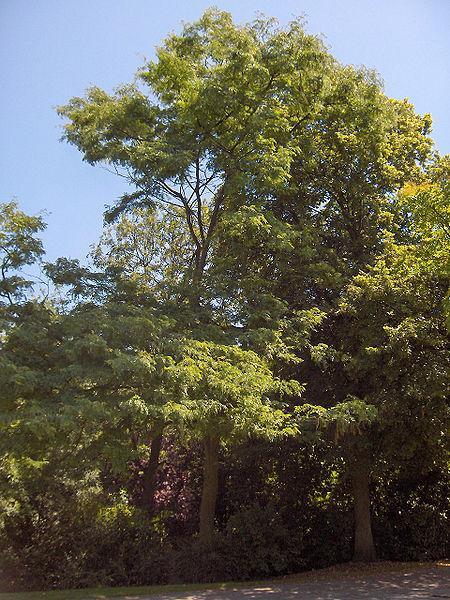 Honey locust (Gleditsia triacanthos), tree