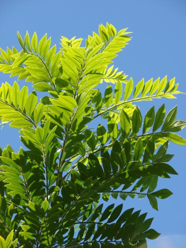 Gliricidia leaves