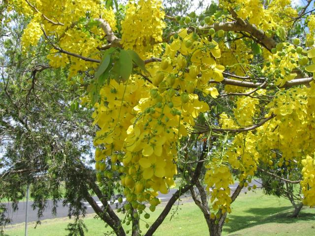 Golden tree (Cassia fistula), habit