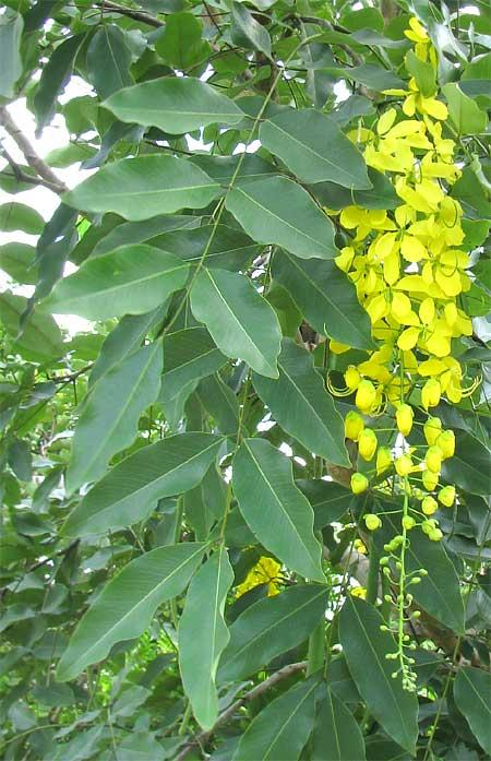Golden tree (Cassia fistula), leaves