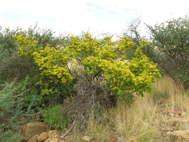 Grewia (Grewia bicolor), habit