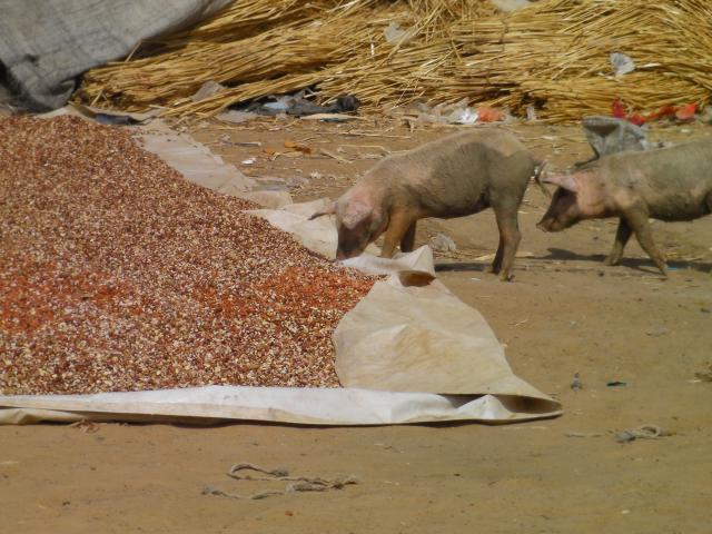 Pigs eating peanuts