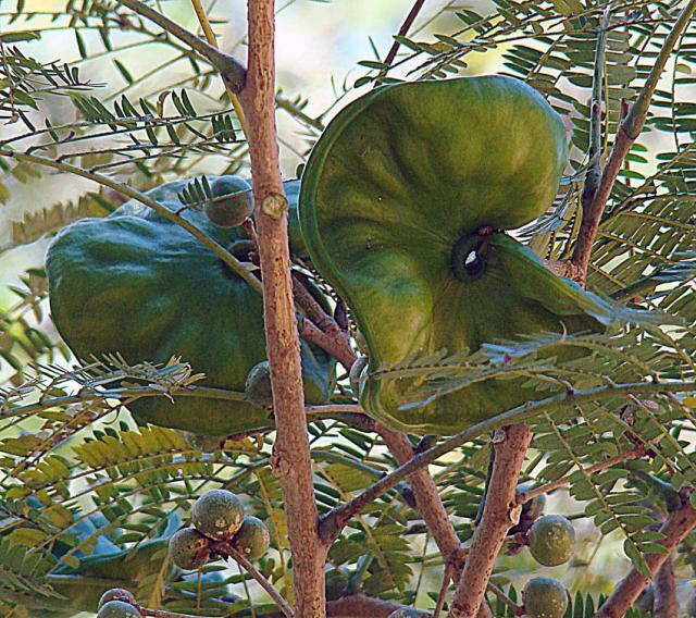 Guanacaste (Enterolobium cyclocarpum), green pods