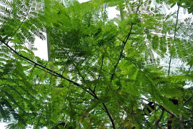 Guanacaste (Enterolobium cyclocarpum), leaves