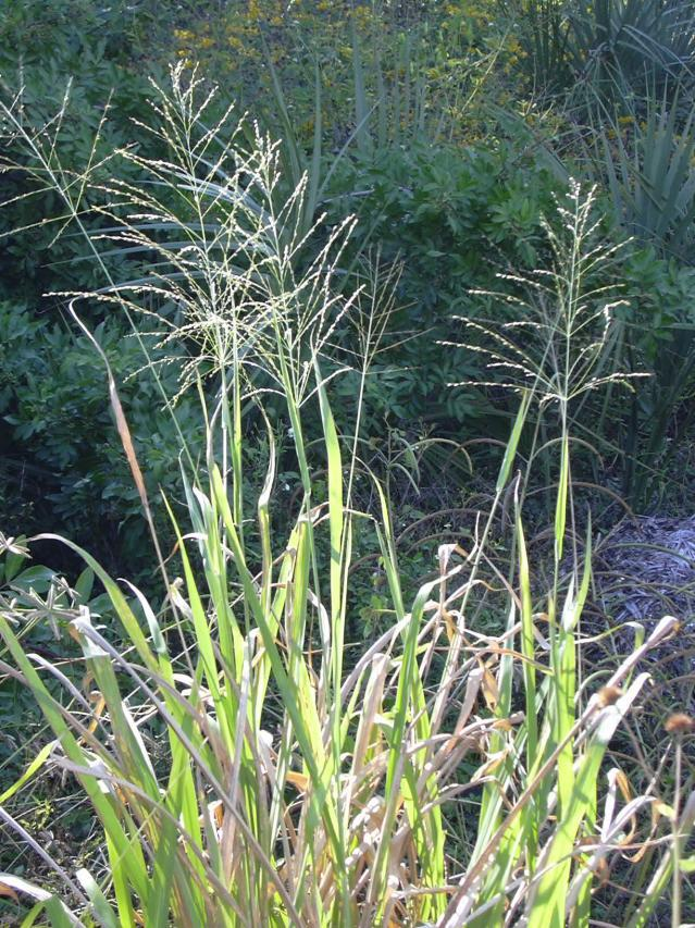 Guinea grass, Florida