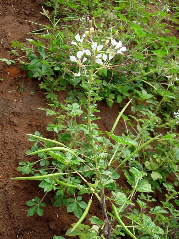 African spiderflower (Gynandra gynandropsis) habit