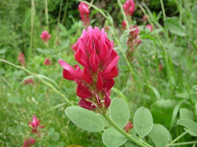 Sulla (Hedysarum coronarium) flower