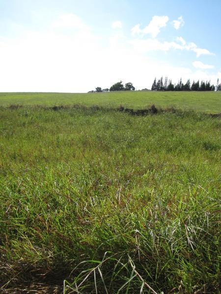 Limpo grass (Hemarthria altissima), stand, Maui, Hawaii