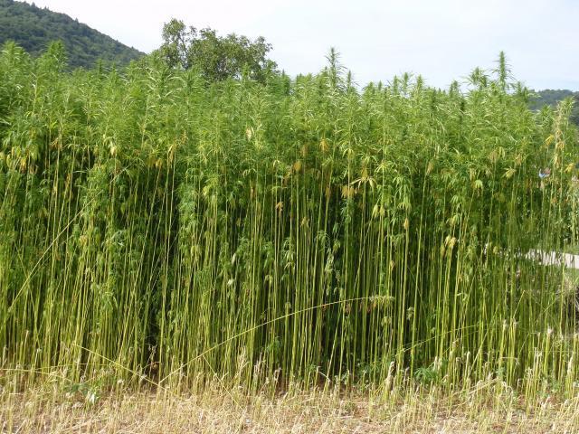 Field of industrial hemp (Cannabis sativa), France