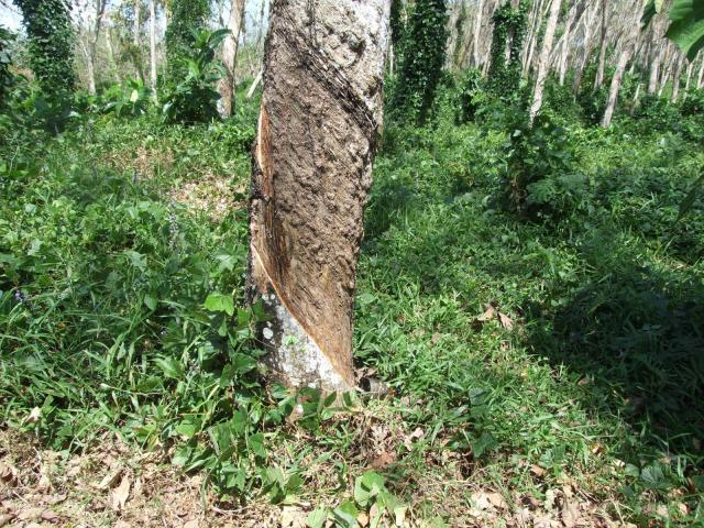 Rubber (Hevea brasiliensis), old tree