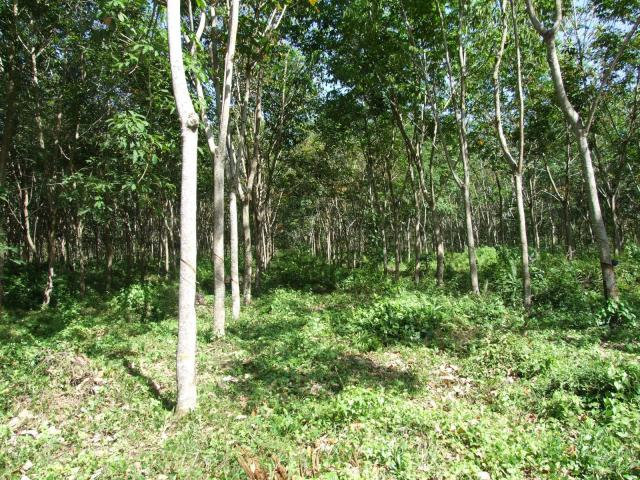Rubber (Hevea brasiliensis), young trees