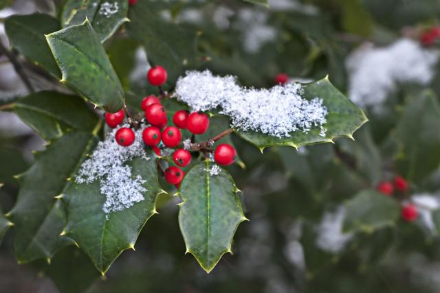 Holly (Ilex spp.) berries