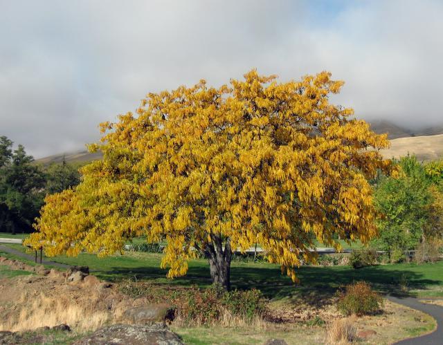 Honey locust tree during autumn, Washington, USA