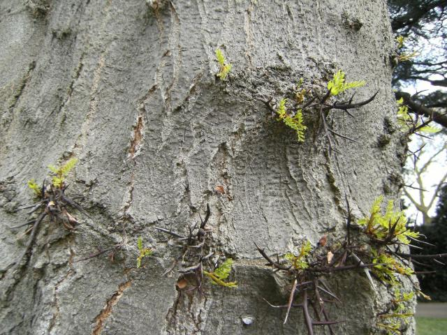 Honey locust (Gleditsia triacanthos), trunk bearing thorns, Kew Gardens, London